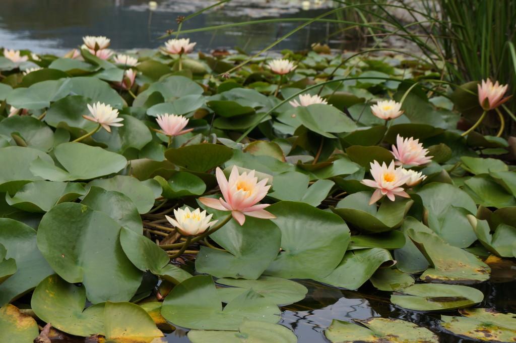 みちのく杜の湖畔公園の蓮の花