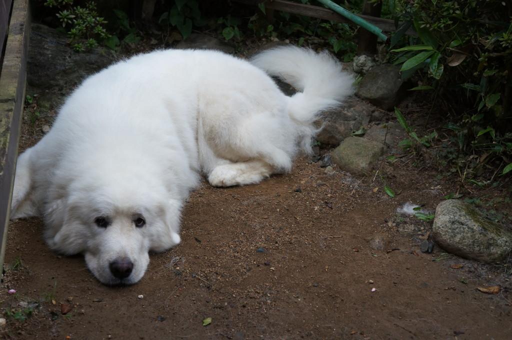 犬のチャーリーお昼寝