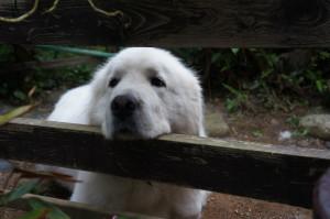 犬のチャーリー甘え顔