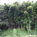 白石城の竹林