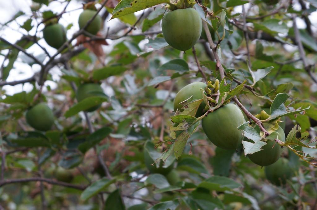 白石城の柿の木