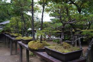 白石武家屋敷の盆栽