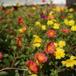 三宅島の花々
