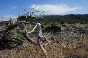三宅島の枯れた木々