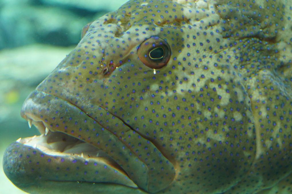美ら海水族館のハタ