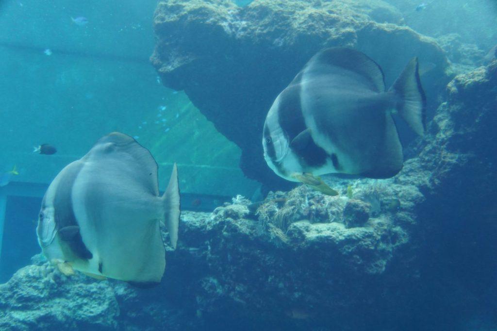 美ら海水族館のツバメウオ