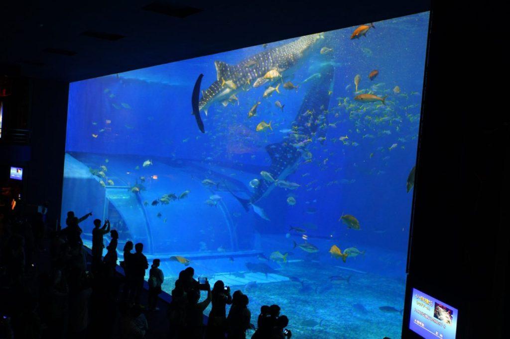 美ら海水族館で食事中のジンベイザメ