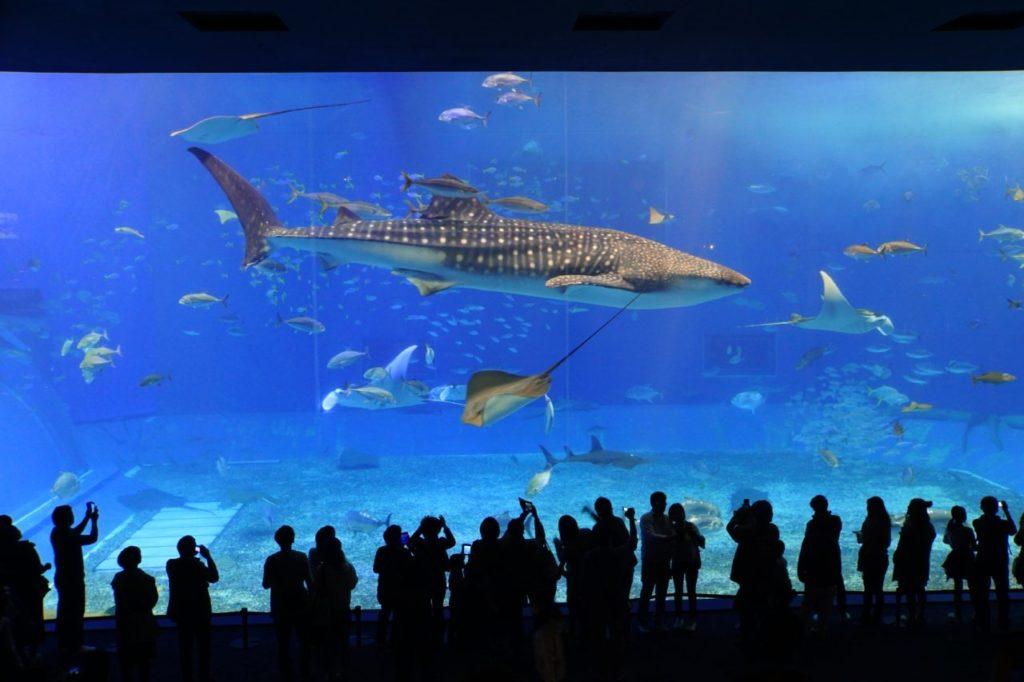 美ら海水族館のジンベイザメと魚の群れ