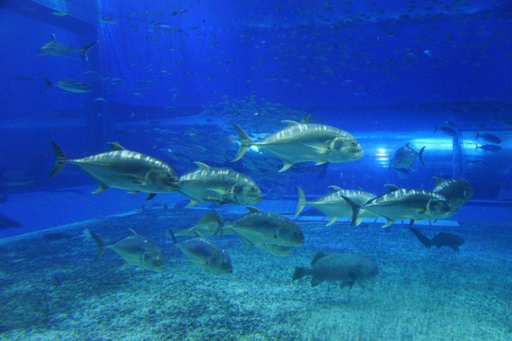 美ら海水族館のロウニンアジ