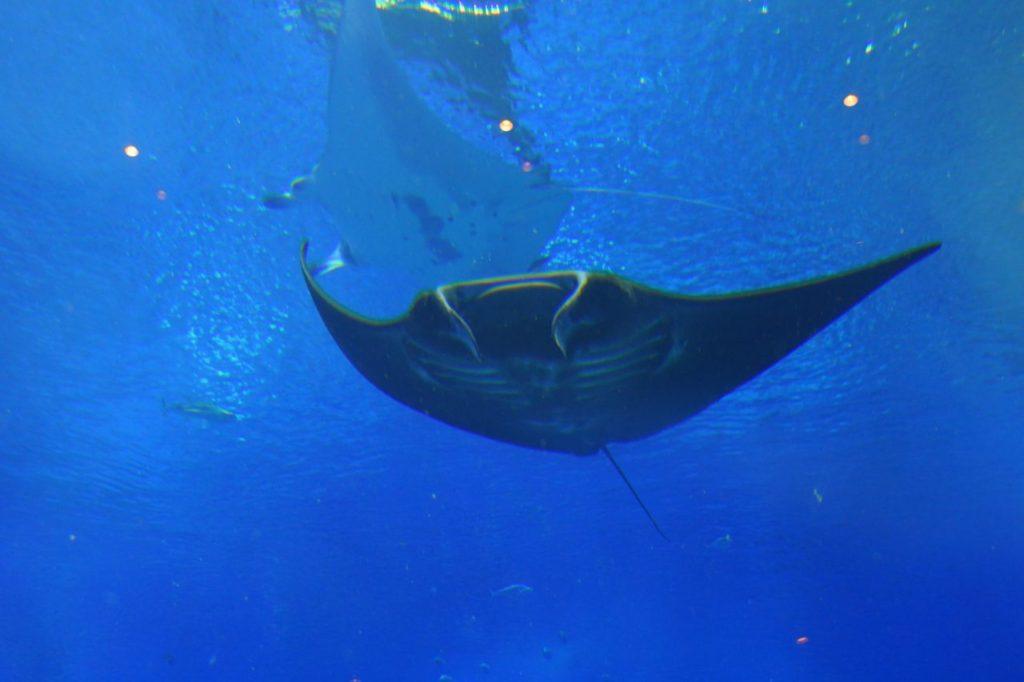 美ら海水族館のブラックマンタ