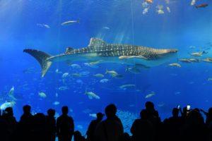 美ら海水族館のジンベイ