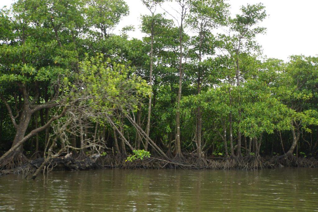 西表島の仲間川から見るマングローブ
