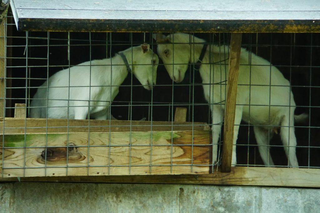 石垣島鍾乳洞のヤギ