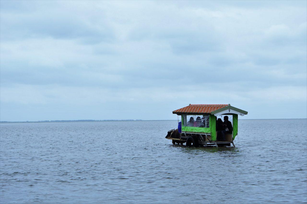 由布島へ向かう水牛