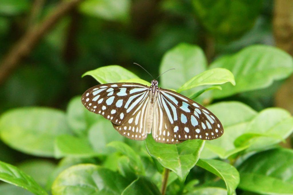 由布島内の蝶々