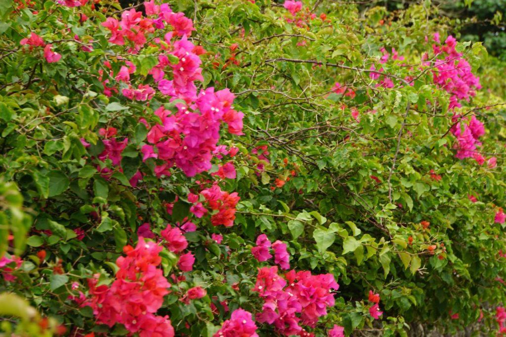 竹富島の道沿いに咲くブーゲンビリア