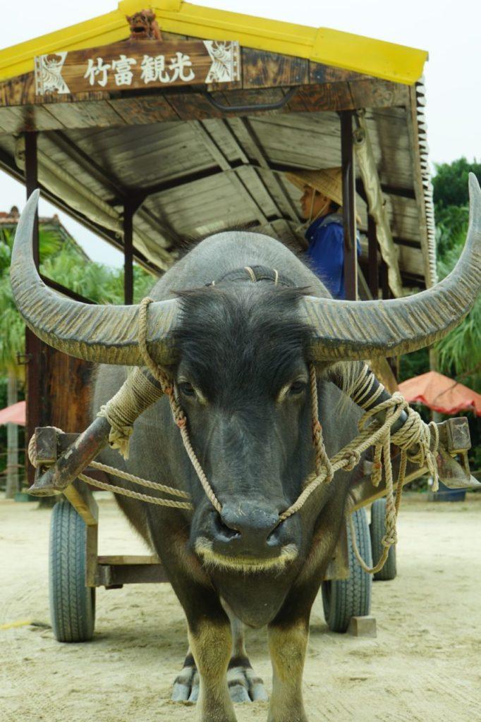 竹富島の水牛に引かれる