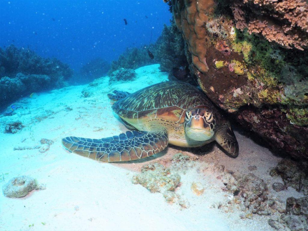 バリカサグのロイヤルガーデンで出会ったアオウミガメ