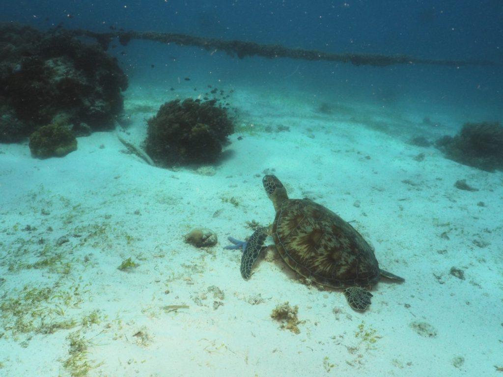 バリカサグのロイヤルガーデンで出会った2匹目のアオウミガメ