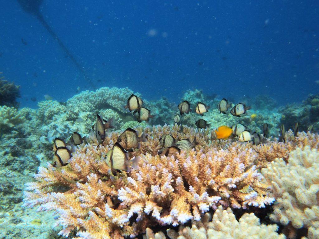 カリパヤンのサンゴに住むスズメダイ