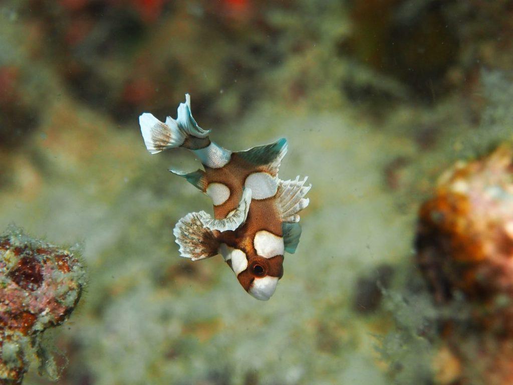 ボホールで出会ったチョウチョウコショウダイの幼魚