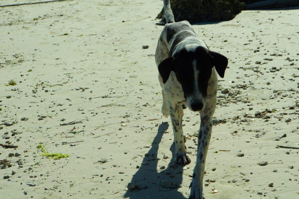 ノバビーチリゾートのビーチで遊ぶ犬