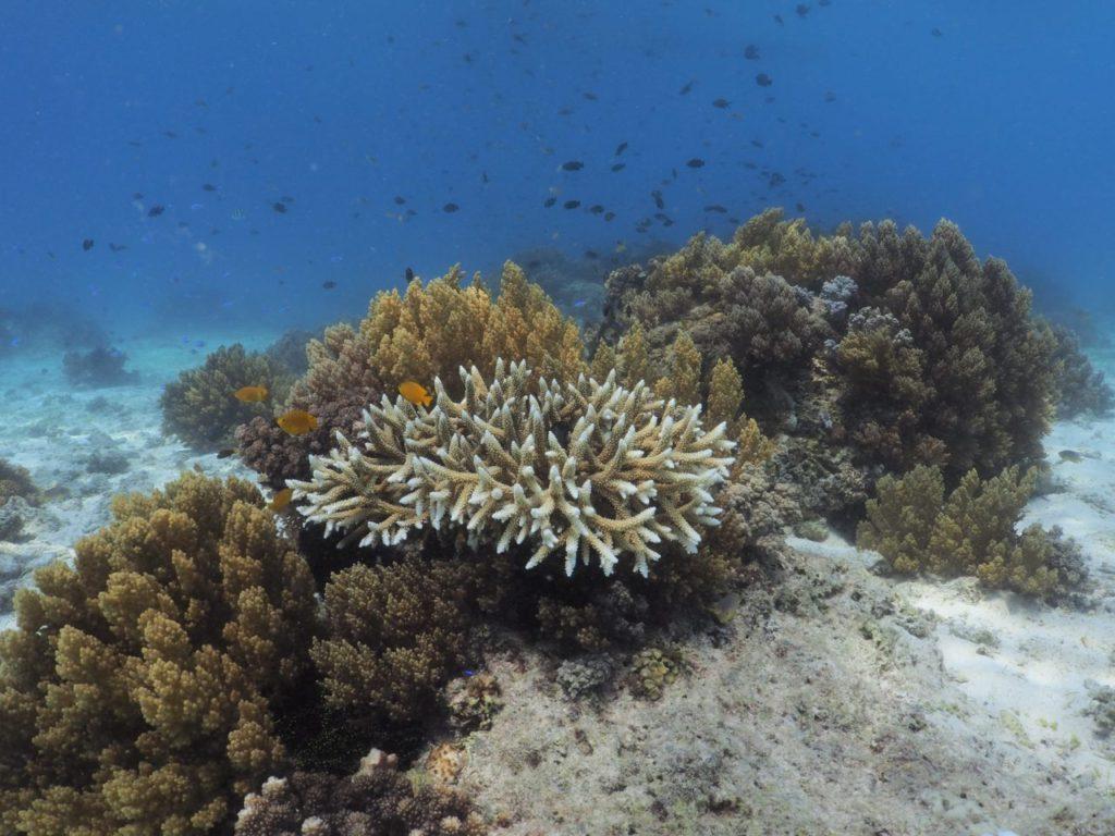 バリカサグのサンゴ