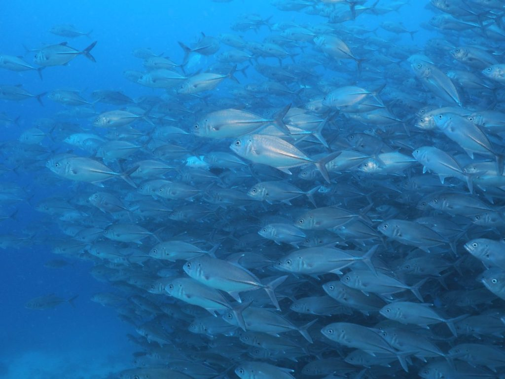 バリカサグのブラックフォレストでギンガメアジの群れに遭遇