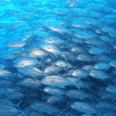 バリカサグのブラックフォレストで巨大なギンガメアジの群れに飲み込まれる