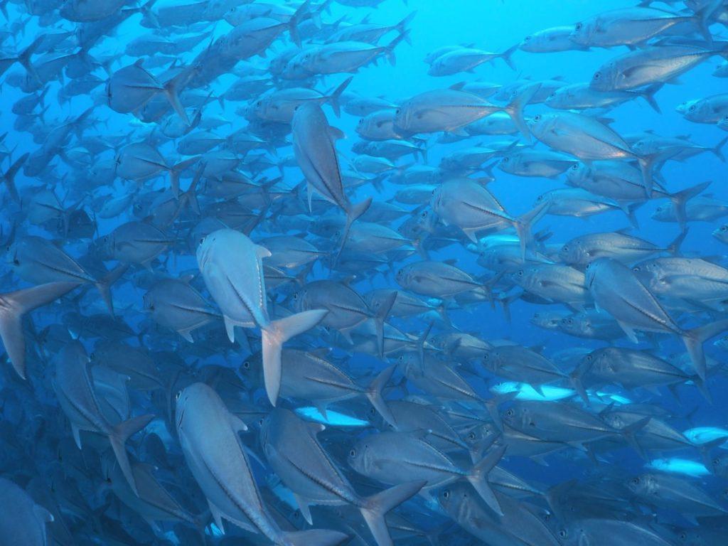バリカサグのギンガメアジの群れに突入