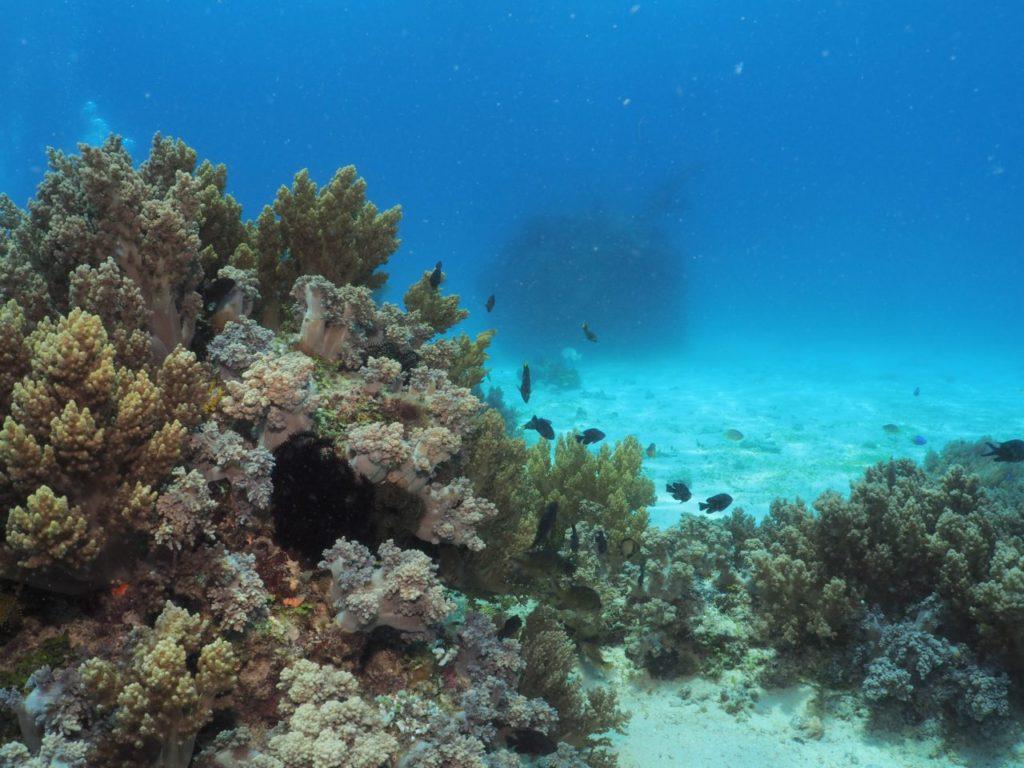 バリカサグロイヤルガーデンのサンゴ