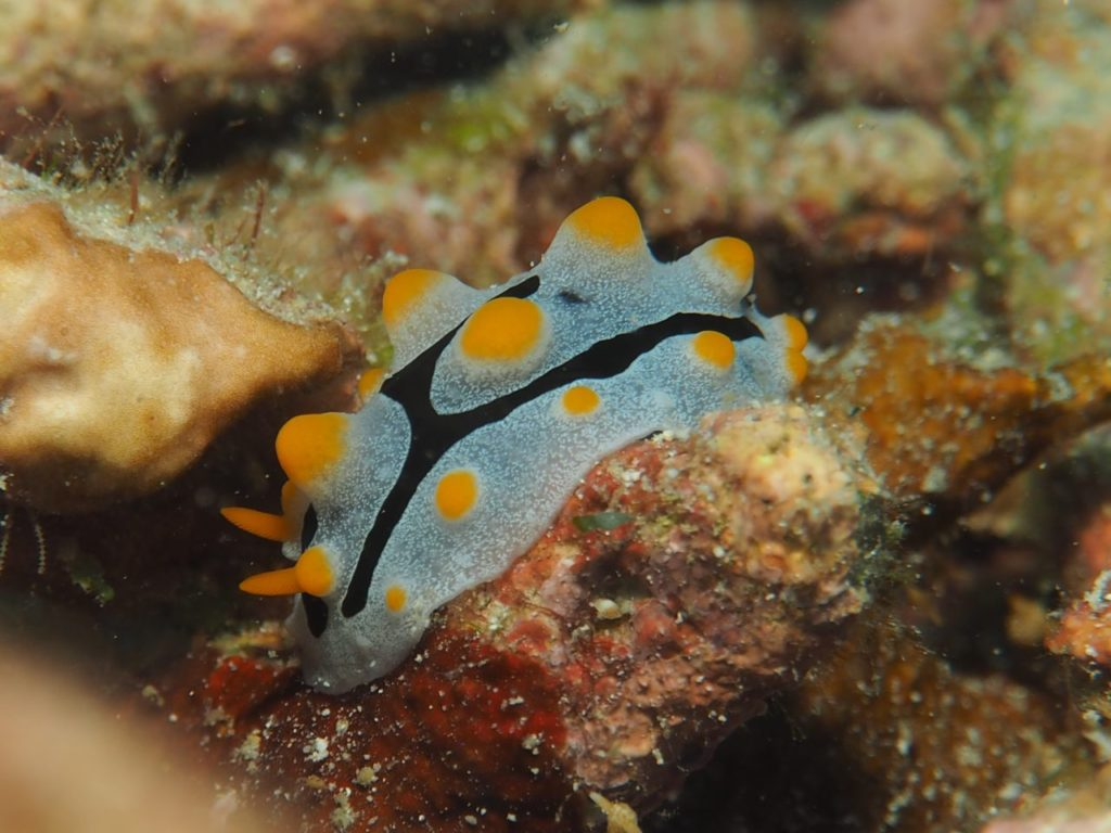 ノバビーチのソライロイボウミウシ