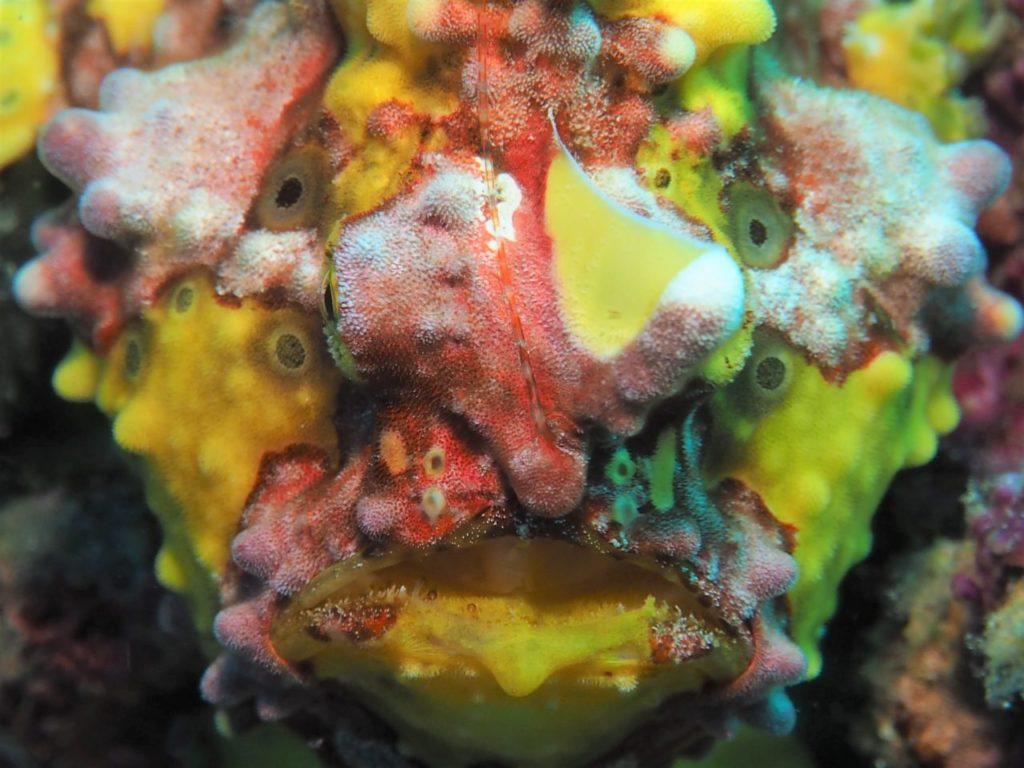 ノバビーチのハウスリーフのオウモンカエルアンコウ拡大写真