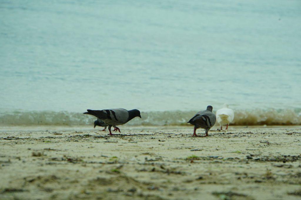 アロナビーチのハト
