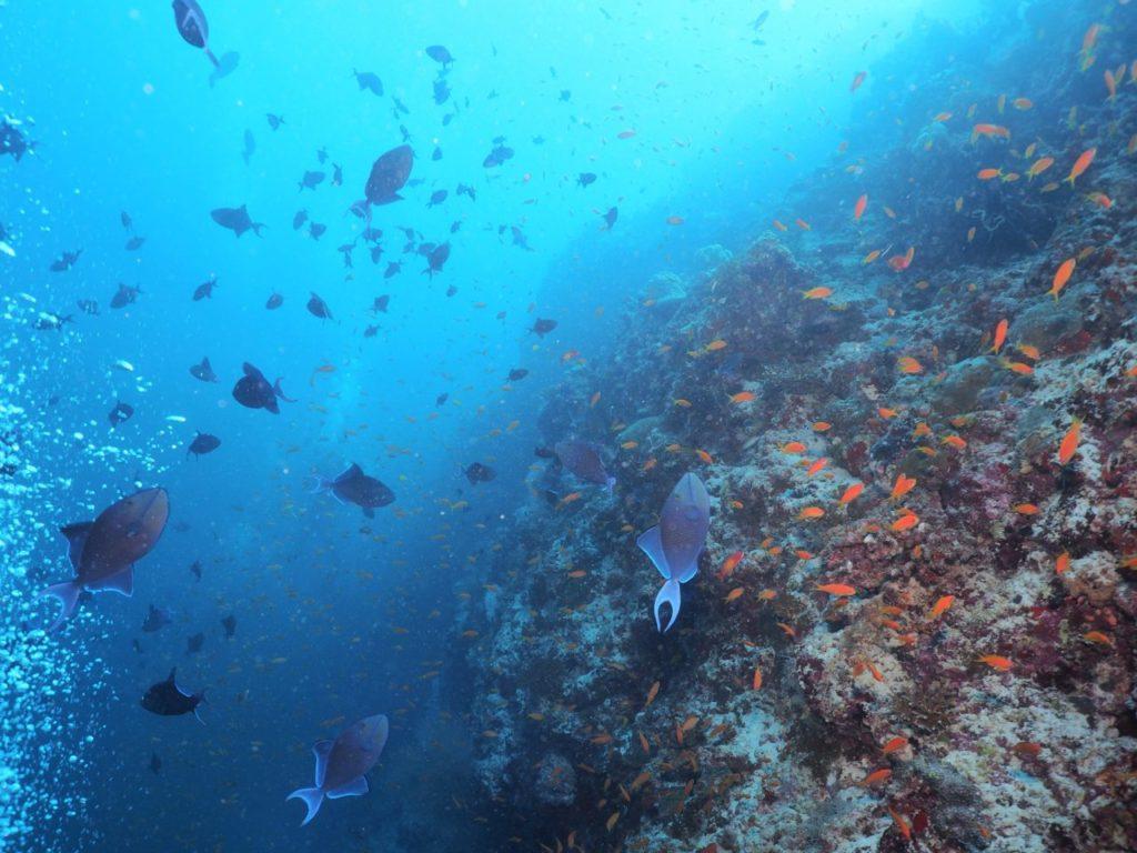 モルディブ南マーレ環礁のクダ・ギリにいるアカモンガラ