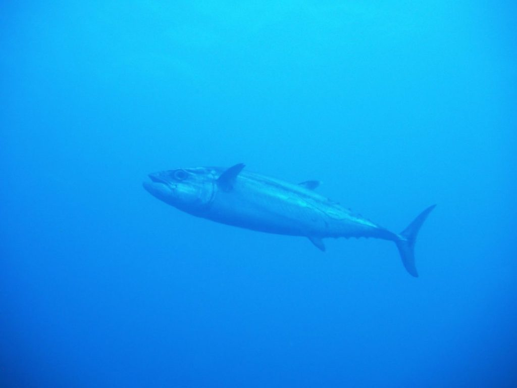 モルディブ南マーレ環礁のクダ・ギリにいるイソマグロ