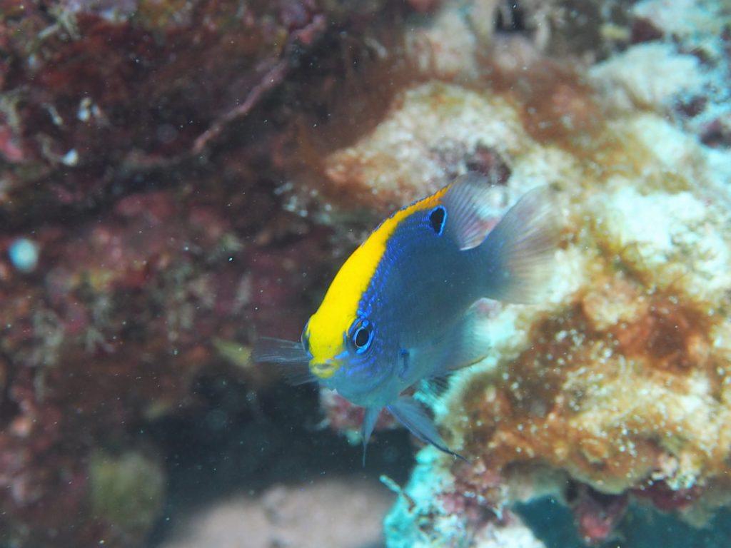 モルディブ南マーレ環礁のクダ・ギリにいるインディアンダムゼル