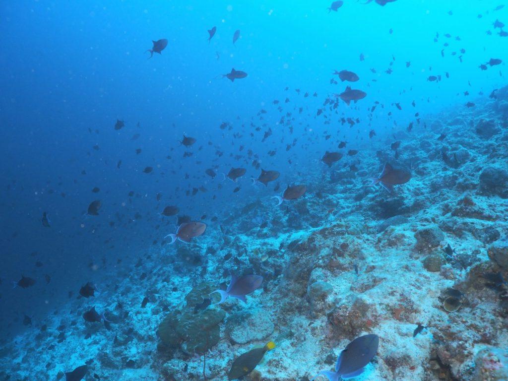 モルディブのヴァーヴ環礁のミヤル・カンドゥにいるアカモンガラ
