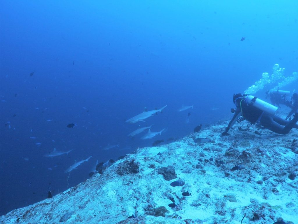 モルディブのヴァーヴ環礁のミヤル・カンドゥにいるサメとダイバー