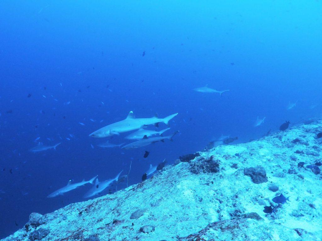 モルディブのヴァーヴ環礁のミヤル・カンドゥにいるサメの群れ