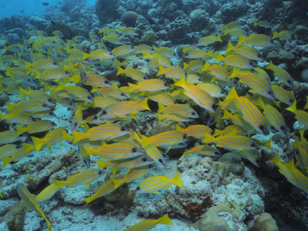 モルディブのヴァーヴ環礁のミヤル・カンドゥにいるヨスジフエダイ