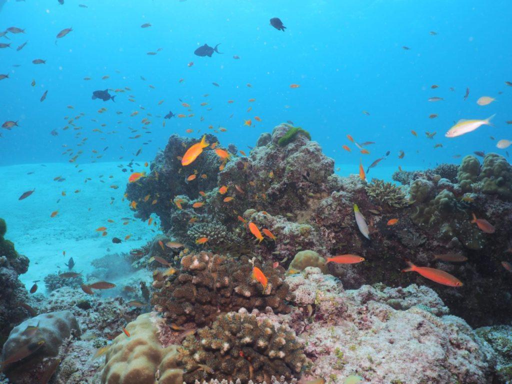 モルディブのヴァーヴ環礁のミヤル・カンドゥにいるサンゴとハナダイ