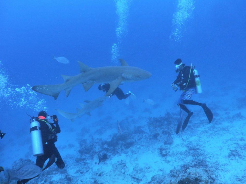 モルディブのヴァーヴ環礁のアリマタハウスリーフでナースシャークと遊ぶダイバー