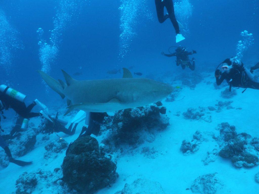 モルディブのヴァーヴ環礁のアリマタハウスリーフでナースシャークの写真を撮るダイバー