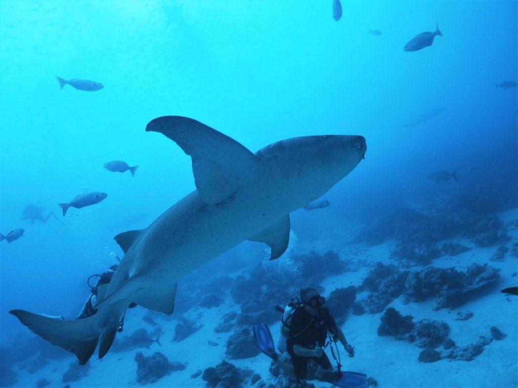 モルディブのヴァーヴ環礁のアリマタハウスリーフで見た大迫力のナースシャーク