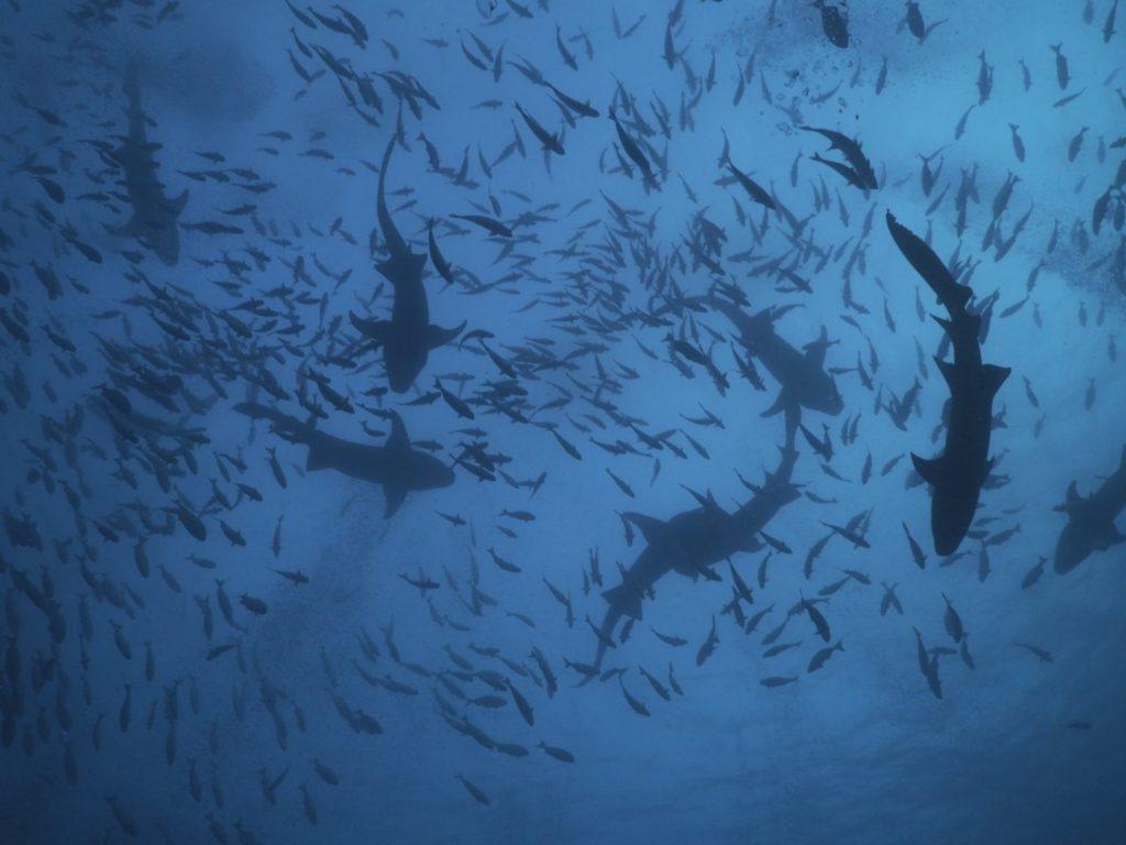 モルディブのヴァーヴ環礁のアリマタハウスリーフで見たナースシャークの群れ