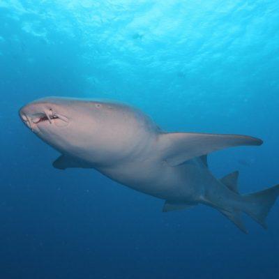 モルディブダイビング1日目-ホワイトチップ、グレイリーフ、ナースシャーク・・・サメにまみれる