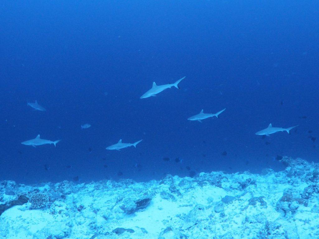 モルディブ・ヴァーヴ環礁のデヴァナ・カンドゥで見たサメの群れ