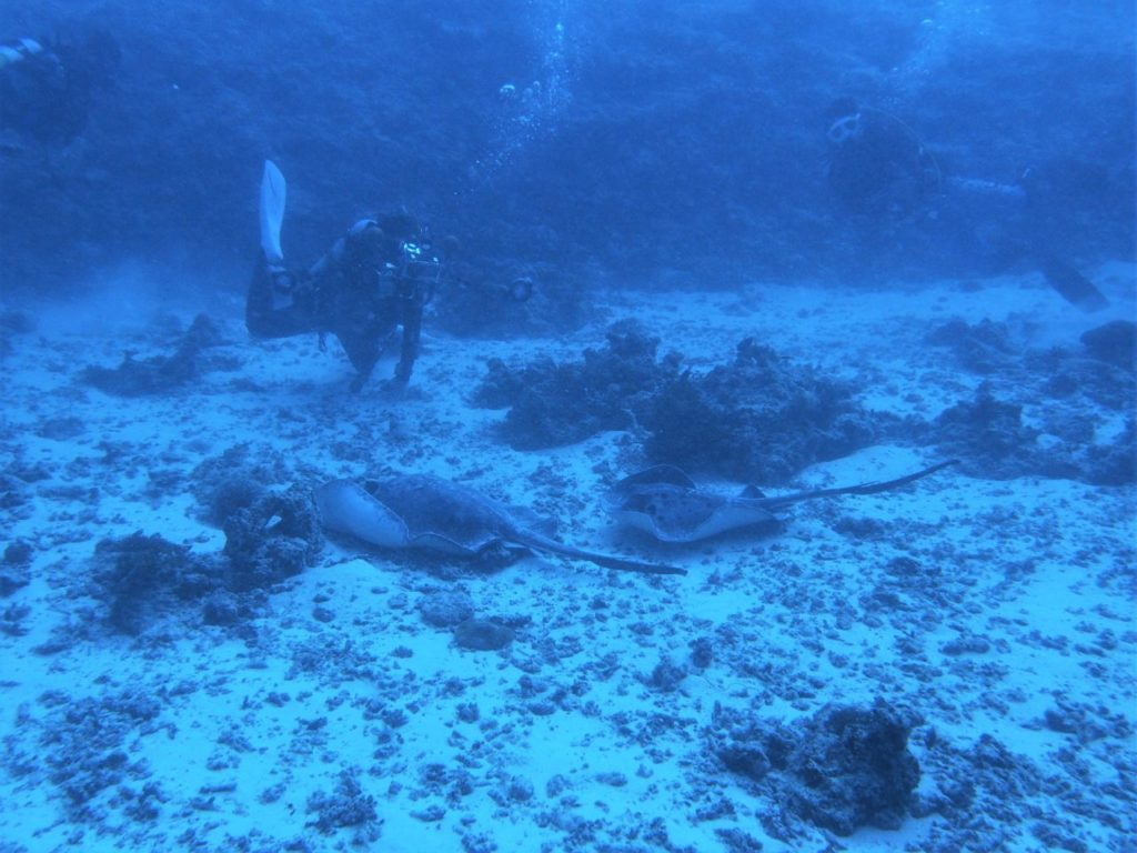 モルディブ・ヴァーヴ環礁のデヴァナ・カンドゥで見たマダラエイのペア
