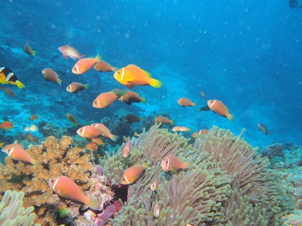 モルディブ・アリ環礁のディグラ・アーチにあったクマノミ城